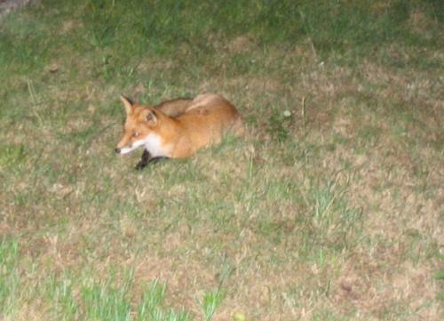 Fox in Garden 2